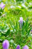 Grupo de açafrão roxo do açafrão sativus com seletivo/brandamente o focu Fotografia de Stock Royalty Free