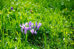 Grupo de açafrão roxo do açafrão sativus com seletivo/brandamente o focu Foto de Stock