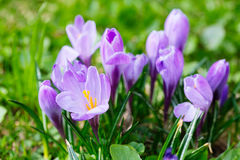 Grupo de açafrão roxo do açafrão sativus com seletivo/brandamente o focu Foto de Stock Royalty Free