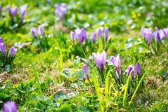 Grupo de açafrão roxo do açafrão sativus com seletivo/brandamente o focu Fotos de Stock Royalty Free