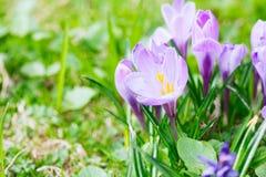 Grupo de açafrão roxo do açafrão sativus com seletivo/brandamente o focu Fotografia de Stock