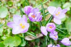 Grupo de açafrão roxo do açafrão sativus com seletivo/brandamente o focu Fotos de Stock