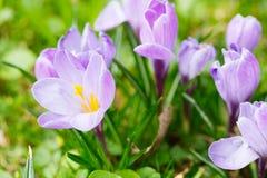 Grupo de açafrão roxo do açafrão sativus com seletivo/brandamente o focu Imagem de Stock Royalty Free