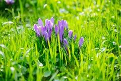 Grupo de açafrão roxo do açafrão sativus com seletivo/brandamente o focu Imagem de Stock