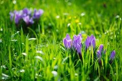 Grupo de açafrão roxo do açafrão sativus com seletivo/brandamente o focu Imagens de Stock