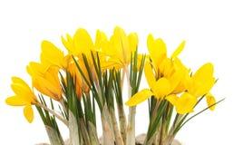 Grupo de açafrões amarelos Foto de Stock