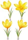 Grupo de açafrões amarelos Imagens de Stock