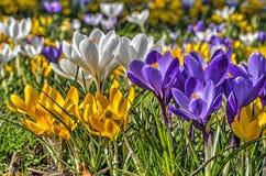 Grupo de açafrões amarelos, brancos e roxos Imagens de Stock
