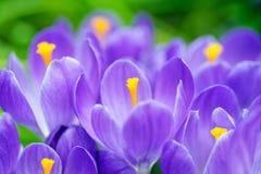 Grupo de açafrões azuis Imagens de Stock Royalty Free