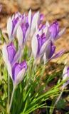 Açafrões roxos Imagem de Stock Royalty Free