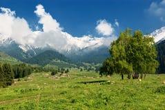 Grupo de abedul en valle de la montaña Fotografía de archivo libre de regalías