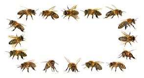 Grupo de abeja o de abeja en el fondo blanco, abejas de la miel Fotografía de archivo libre de regalías