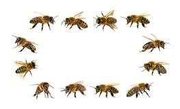 Grupo de abeja o de abeja en el fondo blanco, abejas de la miel Fotos de archivo
