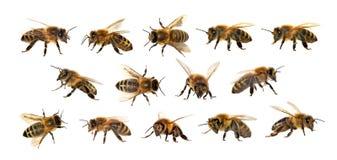 Grupo de abeja o de abeja en el fondo blanco, abejas de la miel Imágenes de archivo libres de regalías