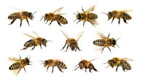 Grupo de abeja o de abeja en el fondo blanco, abejas de la miel Imagen de archivo libre de regalías