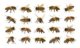Grupo de abeja o de abeja en el fondo blanco, abejas de la miel Imagen de archivo