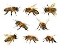 Grupo de abeja o de abeja en el fondo blanco, abejas de la miel Foto de archivo libre de regalías