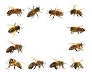 grupo de abeja o de abeja en los Apis latinos Mellifera Foto de archivo