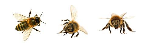 grupo de abeja o de abeja en los Apis latinos Mellifera Imagenes de archivo