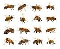 grupo de abeja o de abeja en los Apis latinos Mellifera Imagen de archivo libre de regalías