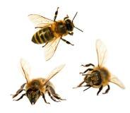 grupo de abeja o de abeja en los Apis latinos Mellifera Imagen de archivo