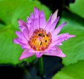 Grupo de abeja que pulula loto púrpura Fotografía de archivo libre de regalías