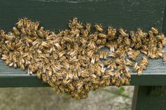 Grupo de abejas Fotografía de archivo