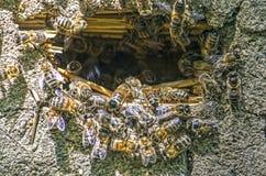Grupo de abejas en una colmena Fotos de archivo libres de regalías