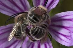 Grupo de abejas en una flor imagen de archivo