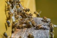 Grupo de abejas, volando y recolectando junto cerca de la entrada o Foto de archivo