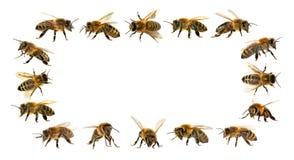 Grupo de abelha ou de abelha no fundo branco, abelhas do mel Fotografia de Stock Royalty Free