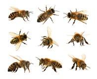 Grupo de abelha ou de abelha nas abelhas ocidental latinos do mel dos Apis Mellifera, europeu ou isoladas no fundo branco, dourad foto de stock royalty free