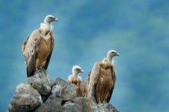 Grupo de abutres Griffon Vulture, fulvus dos Gyps, pássaros de rapina grandes que sentam-se na montanha rochosa, habitat da natur imagem de stock