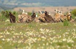 grupo de abutres na mola imagens de stock royalty free