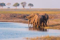 Grupo de agua potable de los elefantes africanos del río de Chobe en la puesta del sol El safari y el barco de la fauna cruzan en Imagen de archivo