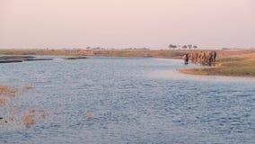 Grupo de agua potable de los elefantes africanos del río de Chobe en la puesta del sol El safari y el barco de la fauna cruzan en almacen de metraje de vídeo