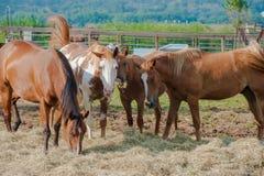 Grupo de alimentación de los caballos Imagenes de archivo