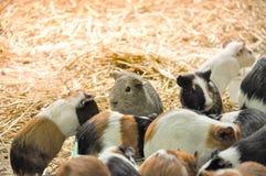 Grupo de alimentación de los conejillos de Indias imágenes de archivo libres de regalías