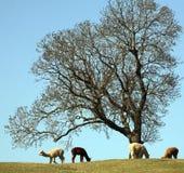 Grupo de alpacas en campo Foto de archivo libre de regalías