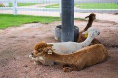 Grupo de alpacas que descansan en la granja Fotos de archivo libres de regalías
