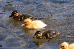 Grupo de anadones del pato silvestre imagenes de archivo