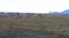 Grupo de animais do herbívoro no savana em África vídeos de arquivo