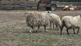 Grupo de animais de exploração agrícola video estoque