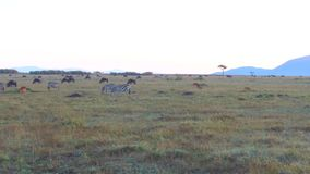 Grupo de animales del herbívoro en sabana en África almacen de video