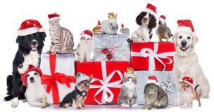 Grupo de animales domésticos en fila con los sombreros de santa Imagen de archivo libre de regalías