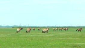 Grupo de animales rajados salvajes que pastan en el desierto metrajes