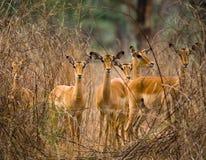 Grupo de antílopes que estão na grama botswana Delta de Okavango fotografia de stock