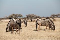 Grupo de antilopes Imagens de Stock
