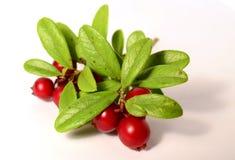Grupo de arandos ou de airelas maduras frescas no branco Imagens de Stock