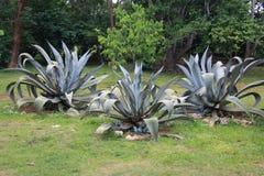 Grupo de arbustos del cactus en el jardín de flores decorativo del fondo del agavo fotografía de archivo libre de regalías